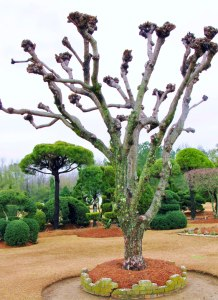 Ancient Crape Myrtle Pollarded in Japanese Shinto Temple