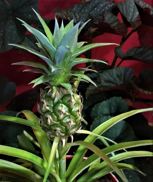 small pineapple growing out of old pineapple