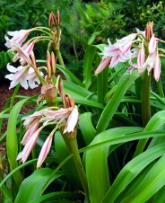 Milk and Wine Crinum