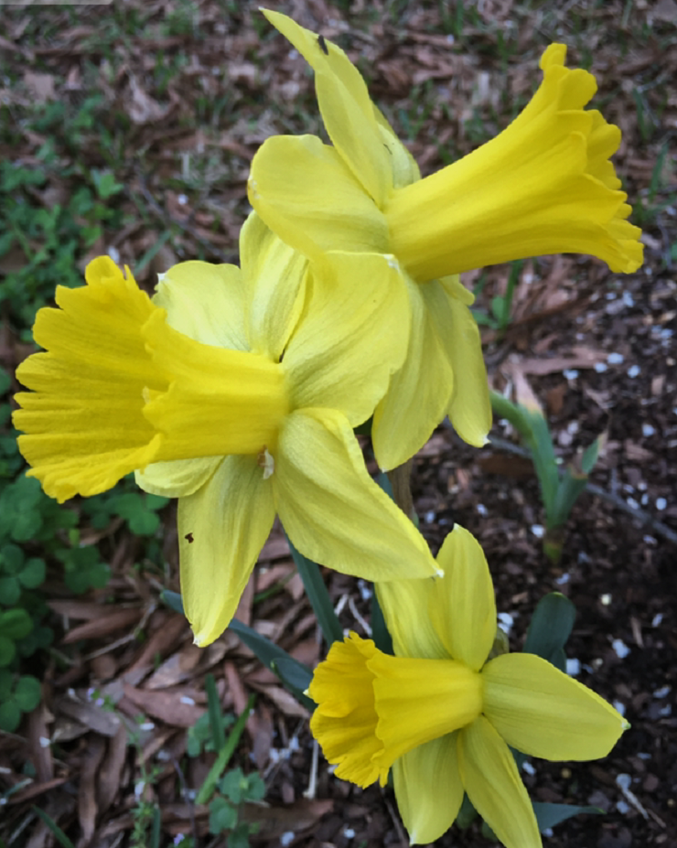 Large cup or trumpet Narcissus
