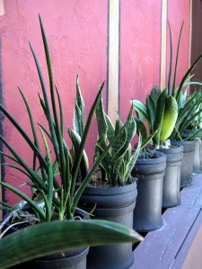 Durable Sansevieria comes in many forms