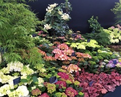 Hydrangeas are only one of the dozens of plant society offerings