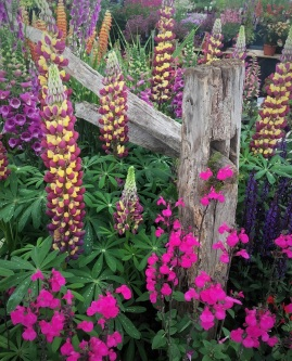Rustic fence adds natural drama to plant collections (and no, lupines like this don't grow well for Deep South gardeners)