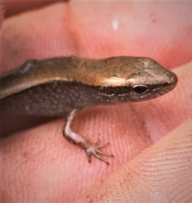 Otherwise homeless skink