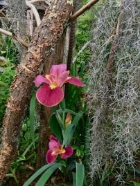 Lousiana iris and Spanish moss in Felder stumpery