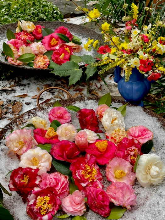 Camellias and other mid-winter flowers in the South